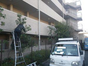 マンションの樹木剪定 施工中の様子