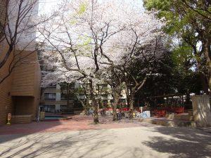 無駄な枝を切除したサクラの開花状況(「桜切るバカ?」のその後)