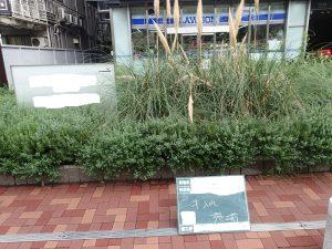 デカイ多年草植物の手入
