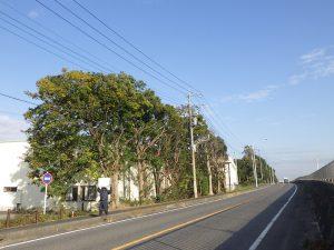 道路側面の樹木、道路にはみ出した箇所の剪定作業