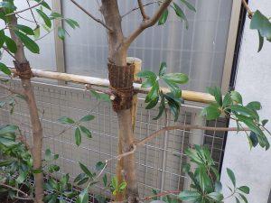 樹木のお手入れ:成長した樹木の幹を支柱に結束し直す