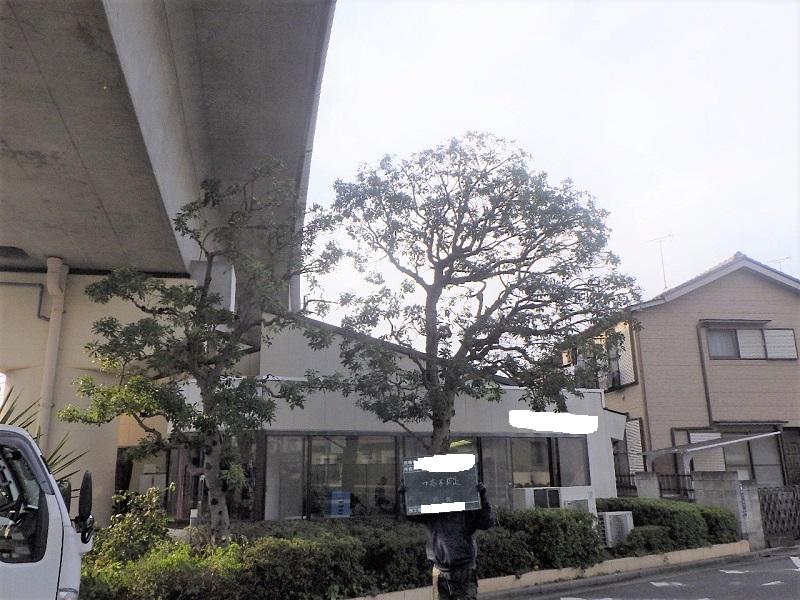 常緑樹の剪定(ブロッコリーではありません (^^) )