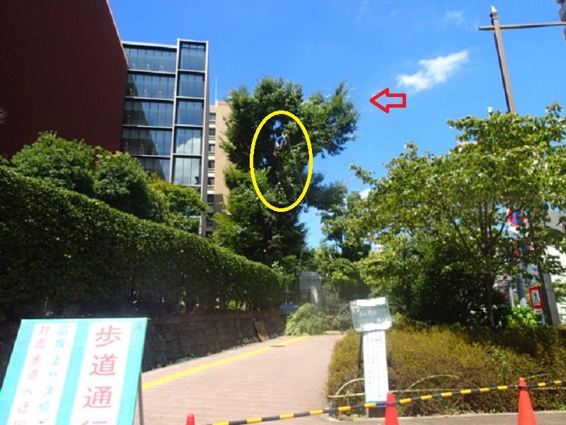 歩道に張り出した大木の剪定
